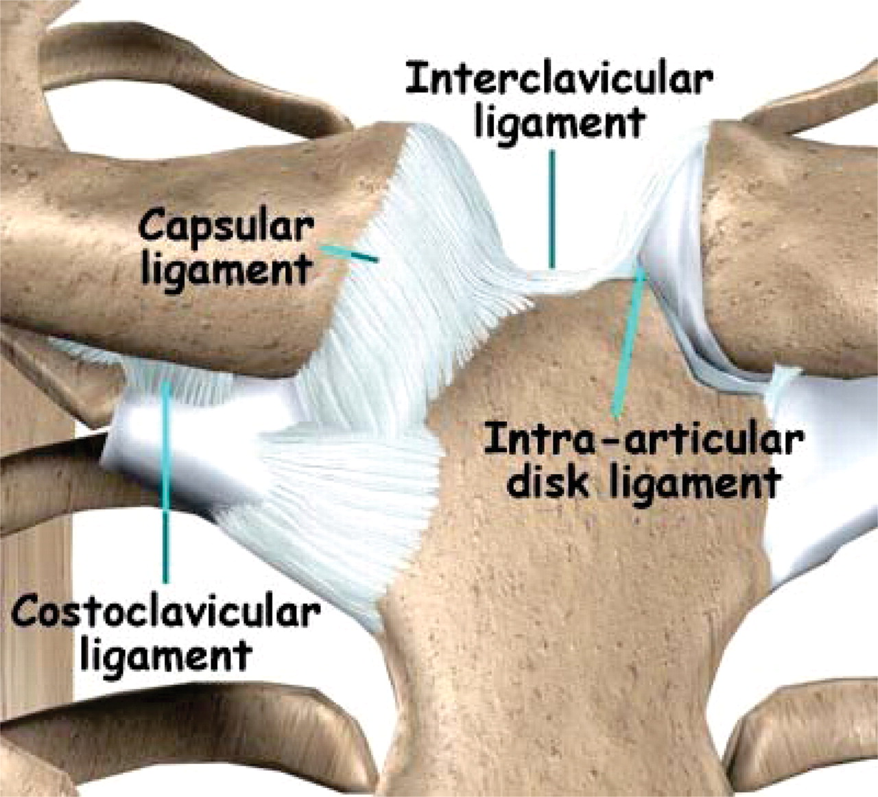 Biomechanics and treatment of acromioclavicular and sternoclavicular ...