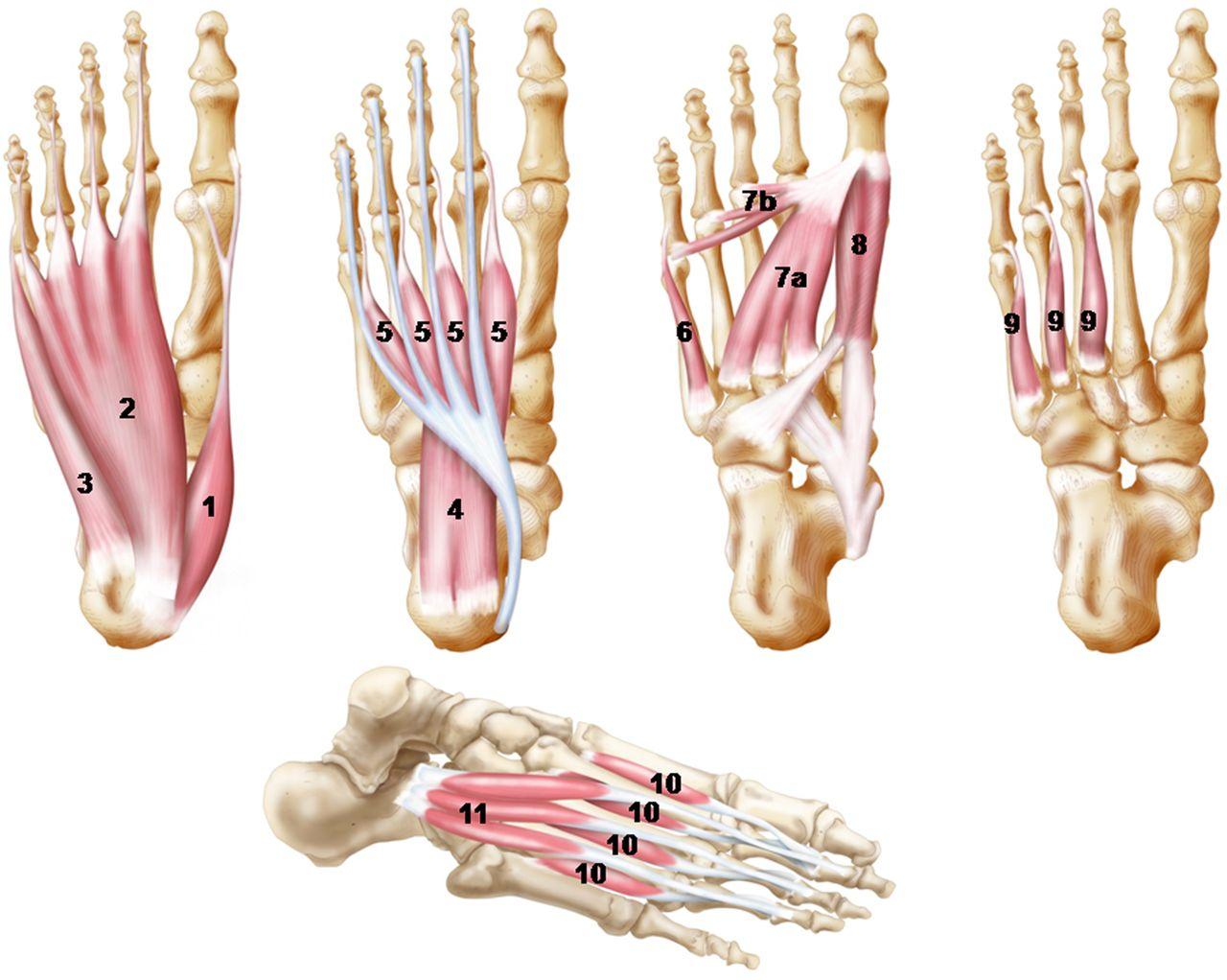 Tibialis Posterior Origin And Insertion