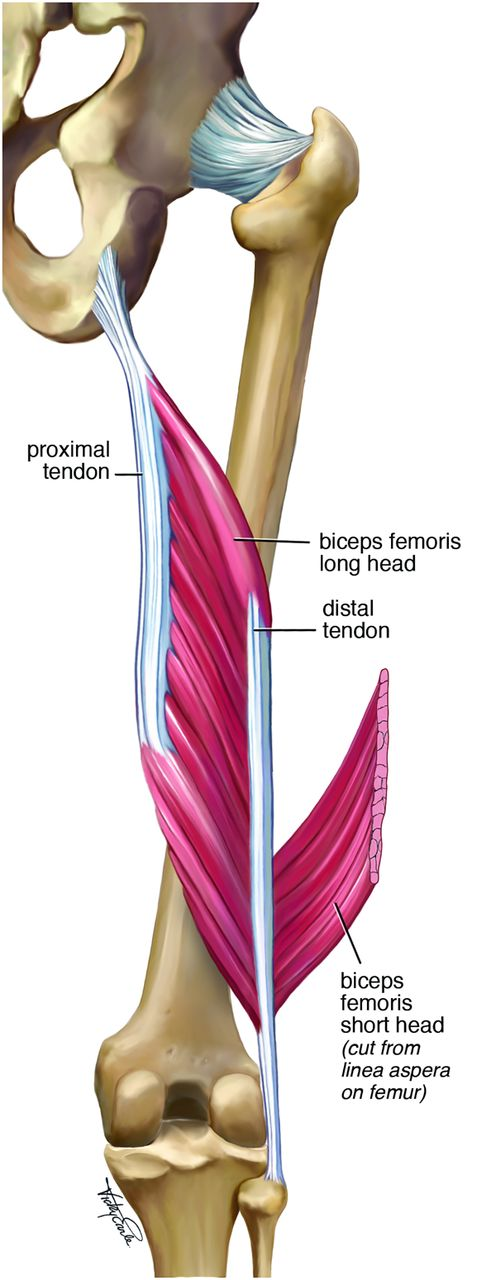 Serious thigh muscle strains\': beware the intramuscular tendon which ...